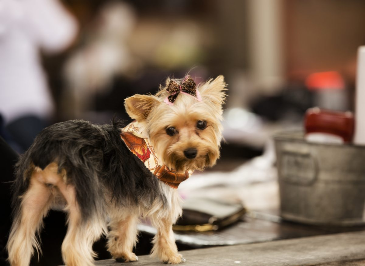 Pets: Cute Yorkie dog at outside city cafe. Bow, bandana.
