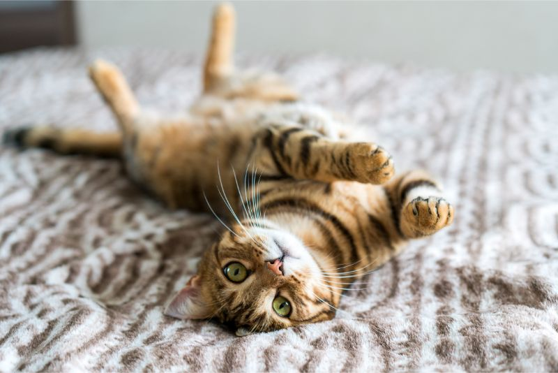 cat rolling on bed